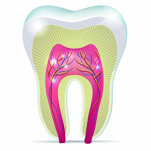 Three tooth anatomy illustrations on a white background